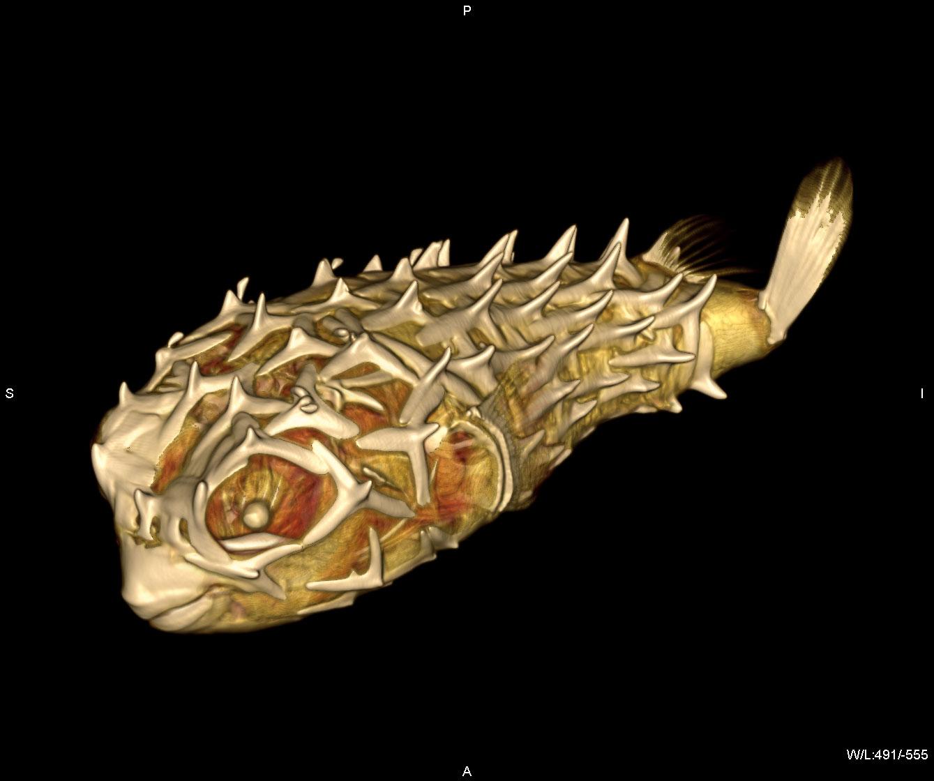 http://www.izw-berlin.de/tl_files/images/Services/CT/23_Porcupine%20fish%20%28Chilomycterus%20spec.%29.%20CT-image%20G.Fritsch%2C%20T.Hildebrandt.jpg