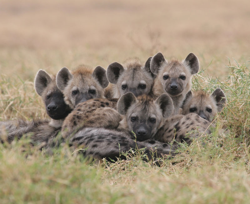 Hyena Offspring offspring acquire a status