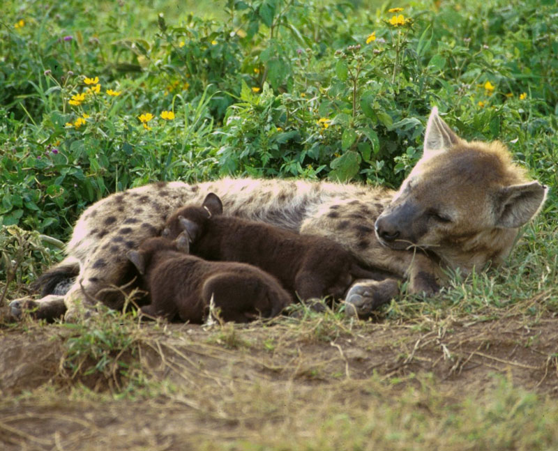 Hyena Offspring their offspring with a