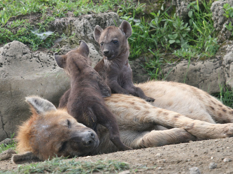 Hyena Offspring Life history and socia...